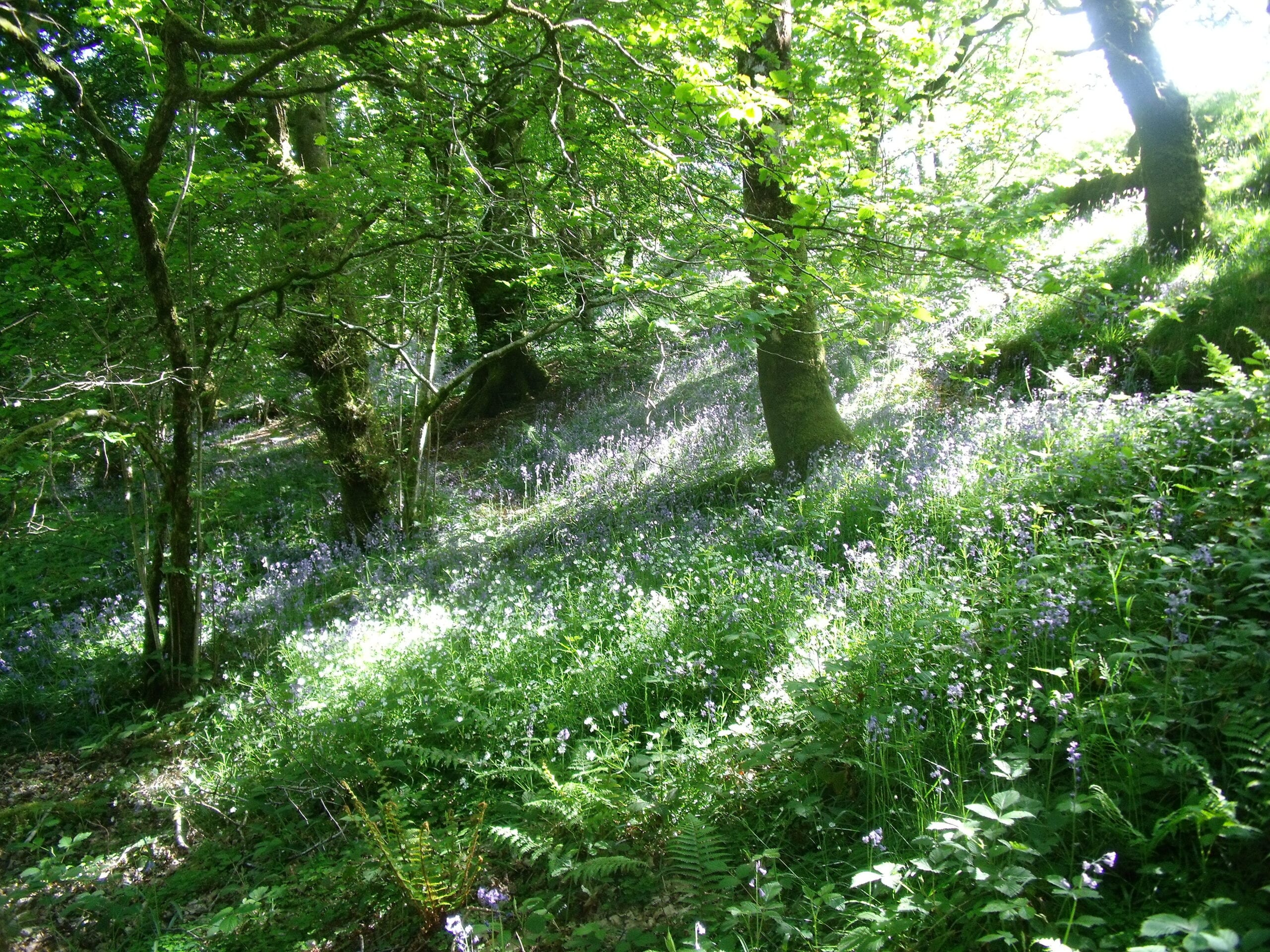 Woodland with bluebells